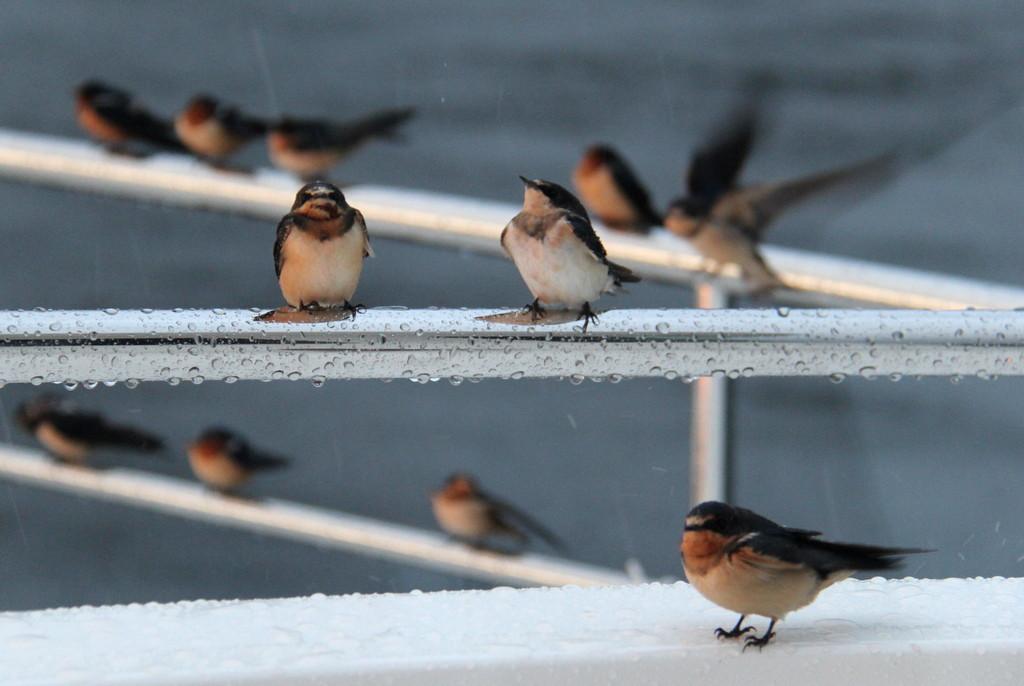 Swallows on the deck enjoying the rain