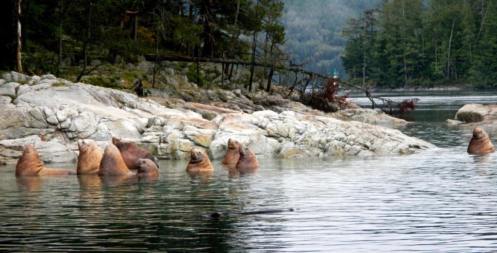 Sea Lions at Jimmy Jud Island