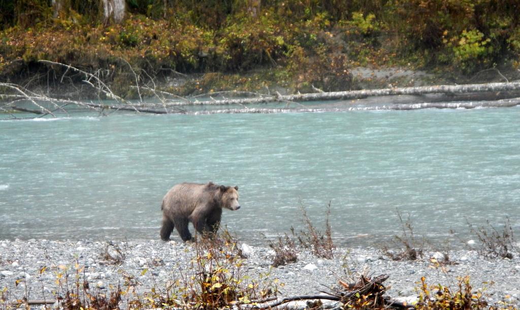 Lone bear