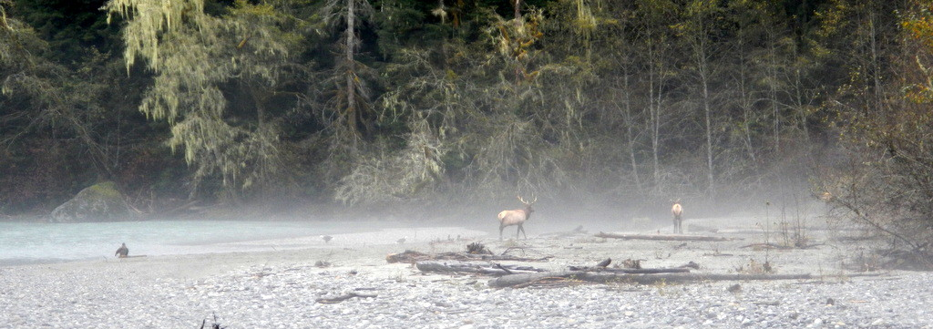 3 Elks and 3 Bald eagles in the fog