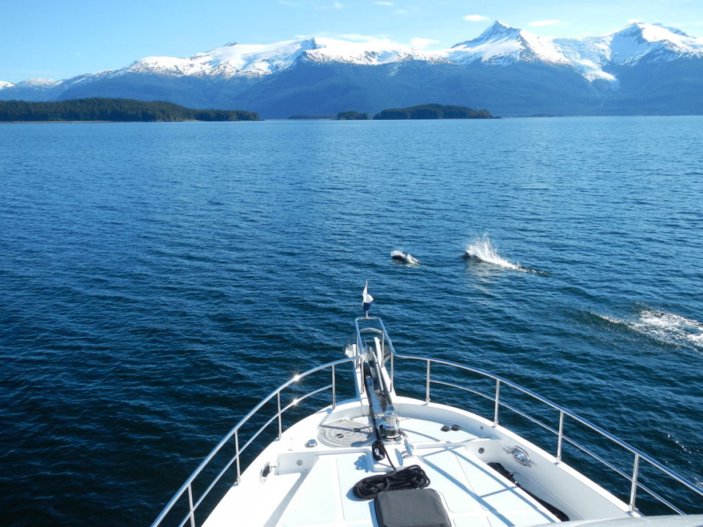 Dahl's porpoises playing in front of the bow