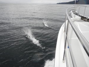 Dall Porpoises playing around the bow
