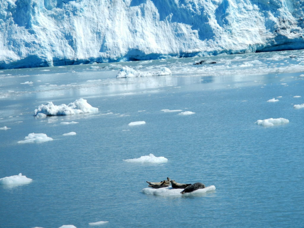 Seals resting on drifting ice