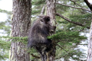 Did you know a porcupine can climb a tree?