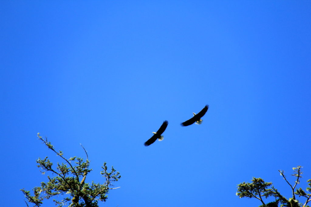 Pare of Bald Eagles in flight