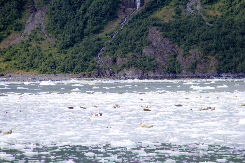 Massive amounts of seals seeking shelter from Orcas
