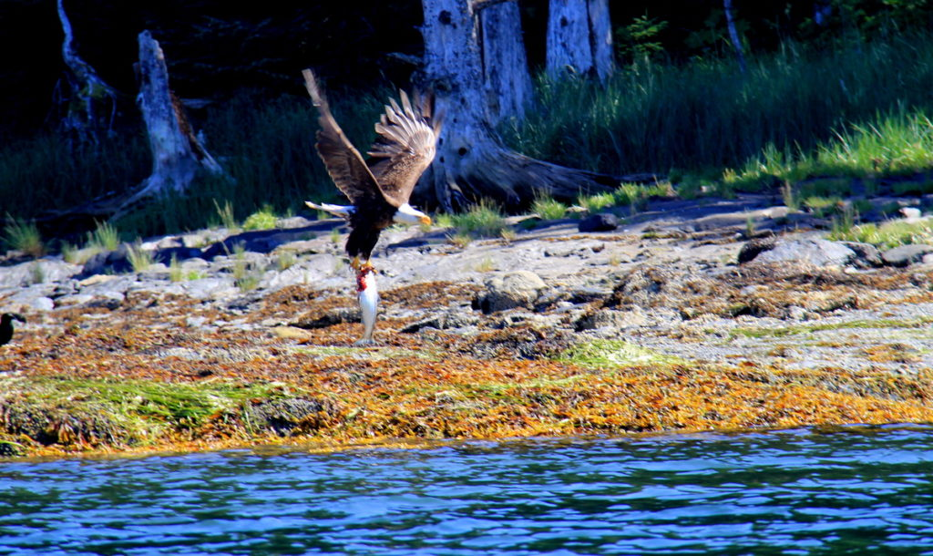 A  Bald Eagle hav just snatched a salmon
