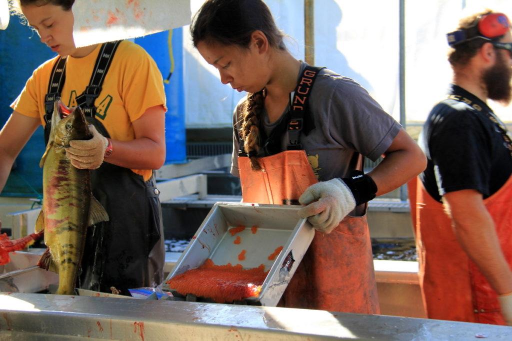 Harvesting Salmon Eggs