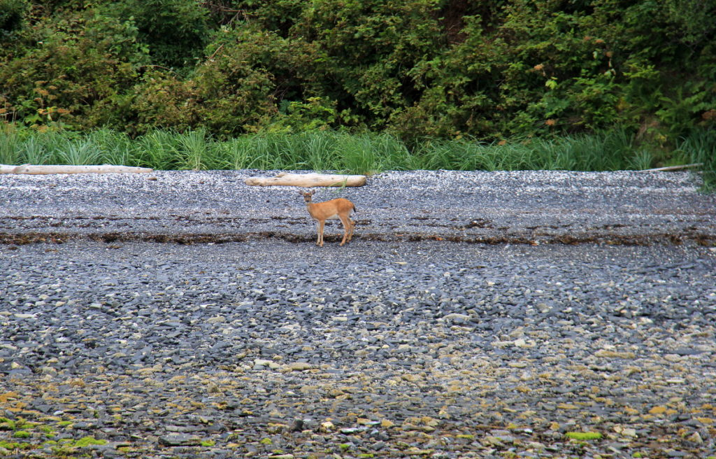 Dry Spruce Bay : A lonely blacktail deer joined us at our anchorage