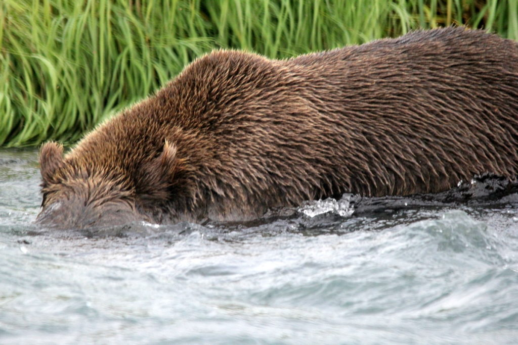 This bear is looking under water for the salmon