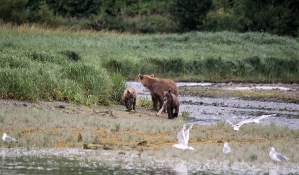 Mother bear with two spring cubs have just caught a salmon