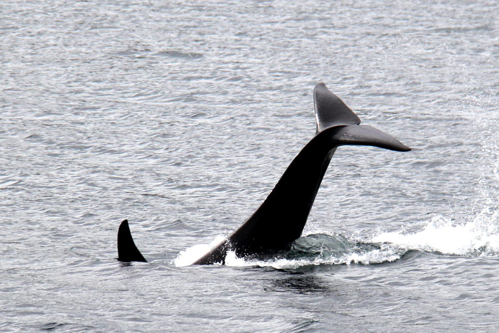 Orcas feeding in Shuyak strait