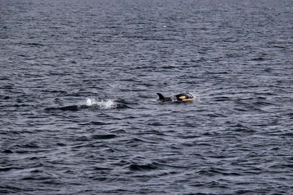 Baby Orca feeding with his mom  in Shuyak strait