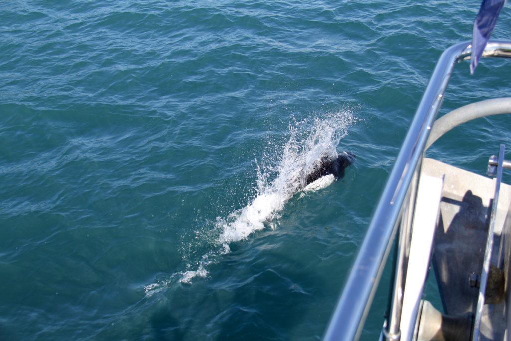 Dahls porpoises