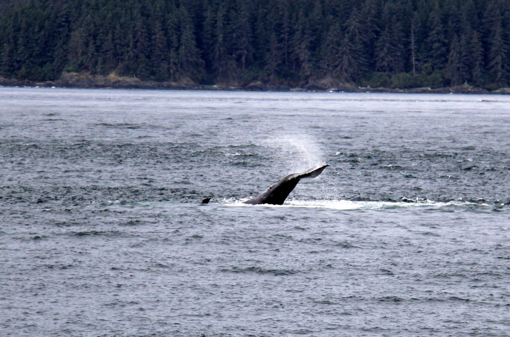 Great tail slapping from a few humback whales along the way